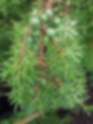 Juniperus communis 10.JPG