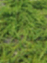 Juniperus com. Green Carpet 2.jpg