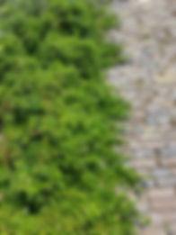 Salix arbus cula 2.jpg
