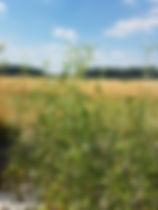 Salix Kooten 2.jpg