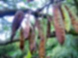 Cercis siliquastrum-09-15-2010-peulen-Ku