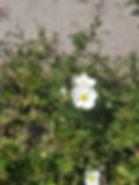 Potentilla abotswood 1.jpg