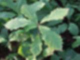 Quercus macrocarpa 6 klein.jpg