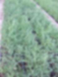 Cytisus scoparius P11 2.JPG