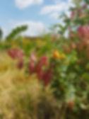 Colutea copperbeauty 2.jpg