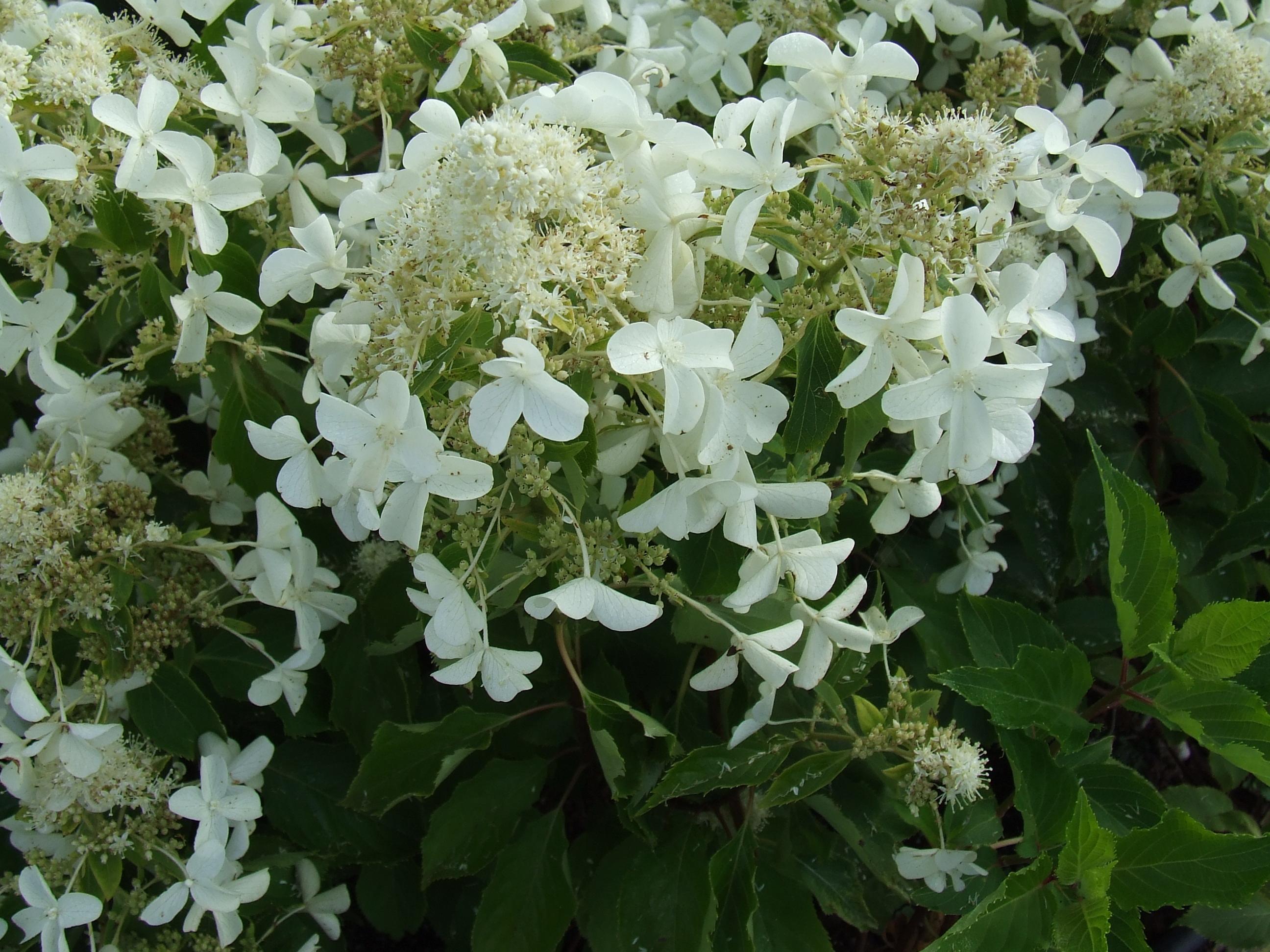 Hydrangea paniculata 'Levana'