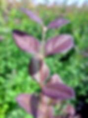 Symphoricarpos orbiculatus-08-14-2010-to