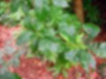 Quercus bicolor-07-14-2009-bladeren-Cant