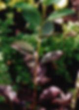 Prunus virginiana 'Shubert'2.jpg