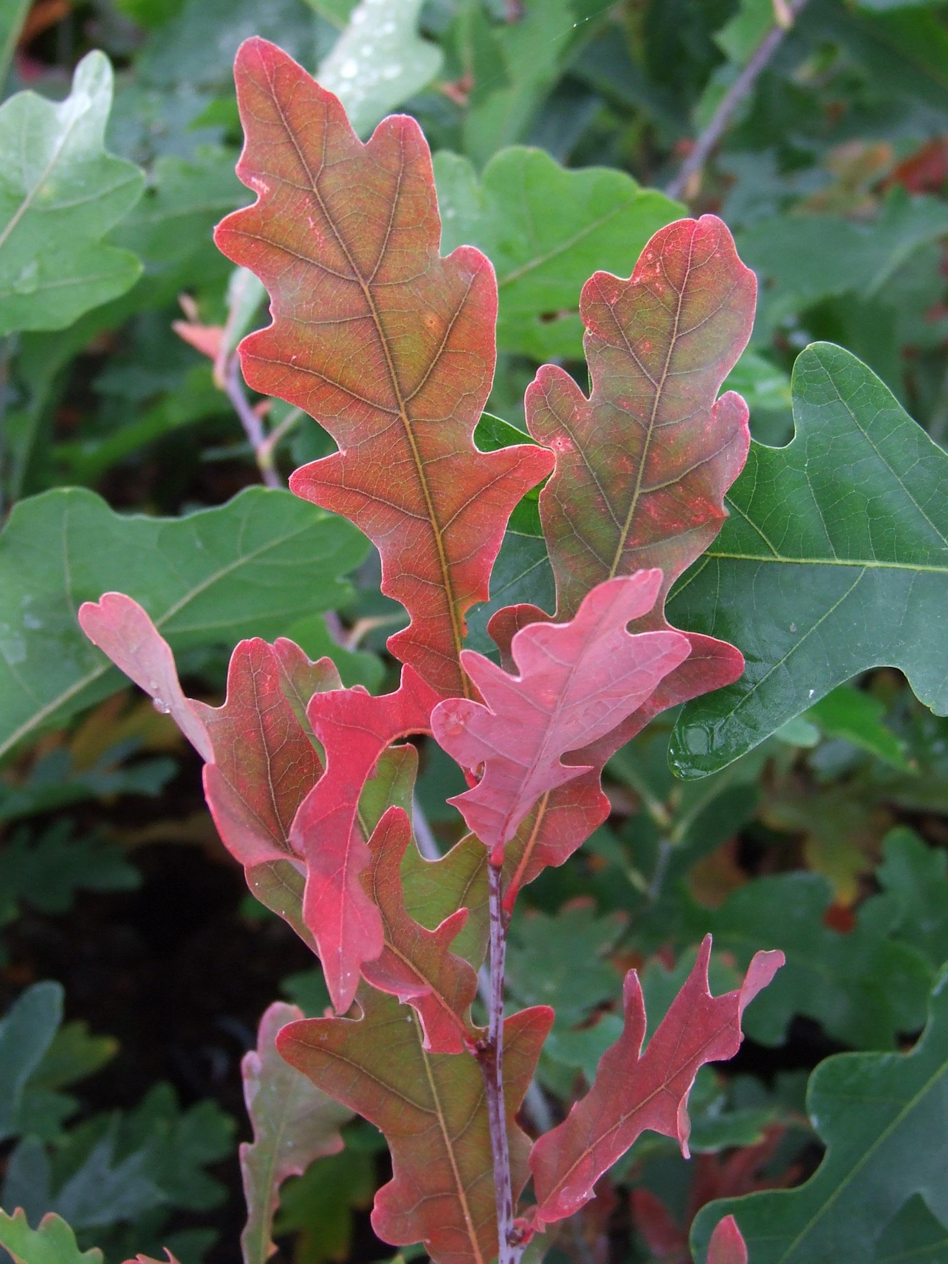 Quercus bimundorum 'Crimschmidt'