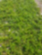 Arctostaphylos uva ursi 1.jpg