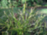 Vaccinium myrtillus-03-18-2008-detail-Ho