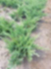 Juniperus sab. Tamarisifolia 2.jpg