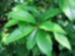 Chionanthus virginicus-06-24-2010-loof-B