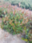Photinia Little Red Robin 1.jpg