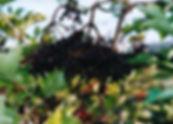 Sambucus nigra 'Korsor'1.jpg