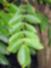 Juglans cinerea-09-02-2008-blad-Bot.Tuin