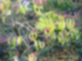 Heptacodium miconioides-10-31-2009-overz