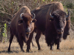 The Bison Brothers