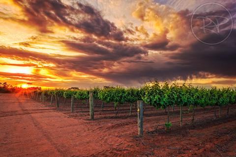 Grapes Sunrise