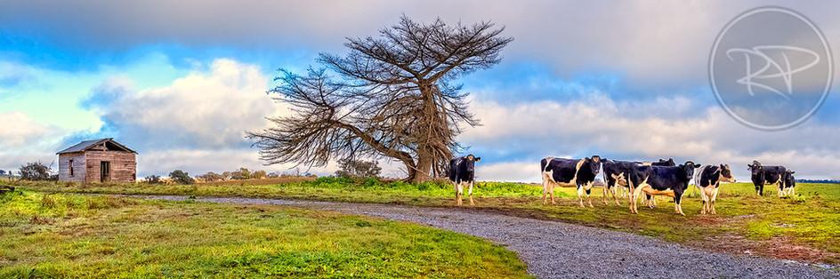 Harden Cows
