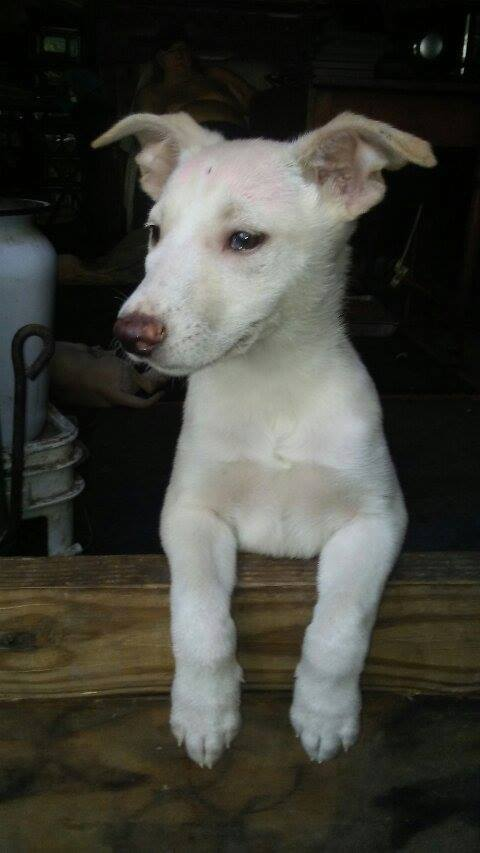 carolina dogs for sale