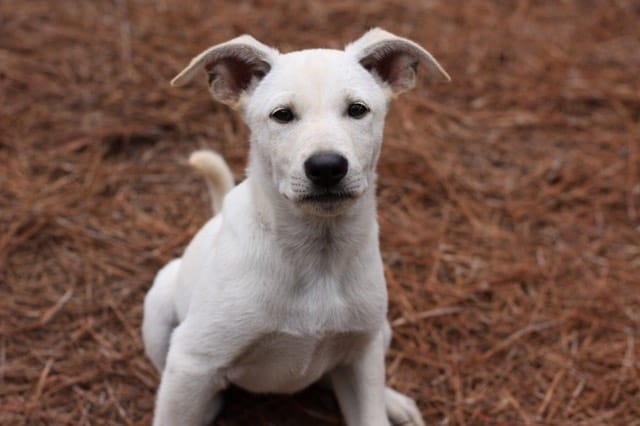 Carolina dog breeder