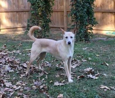 available carolina dog