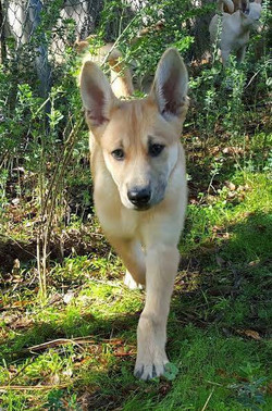UKC registered Carolina dog