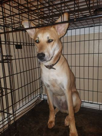 carolina dog for sale