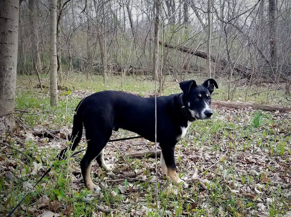 carolina dog, adopt