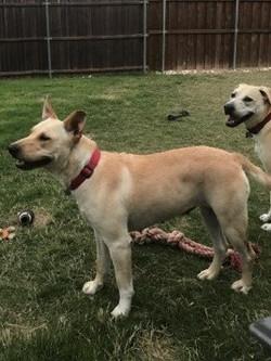 adopt a carolina dog