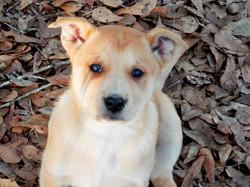 carolina dog breeder