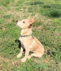 rescue carolina dog