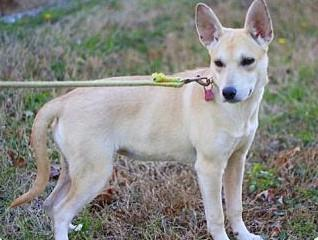 carolina dog rescue