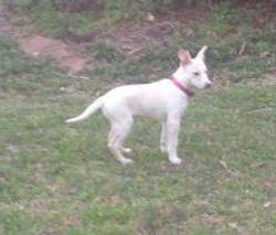 carolina dog from a breeder