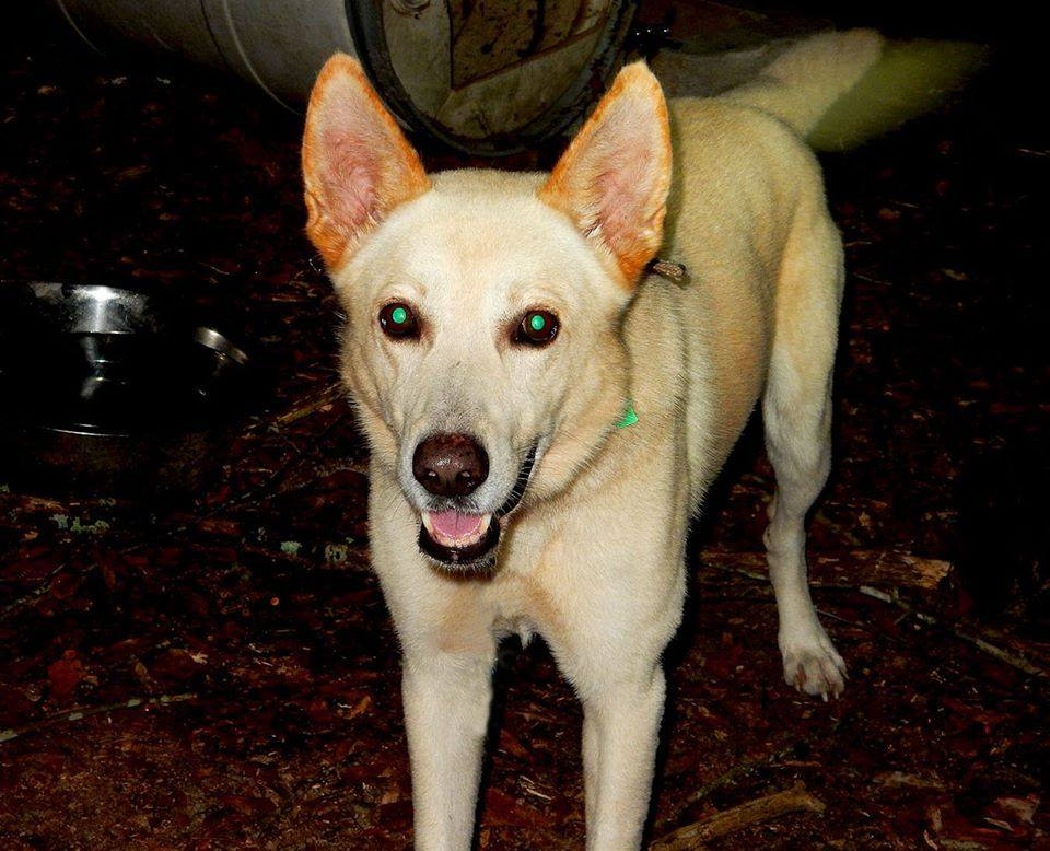 carolina dog puppies