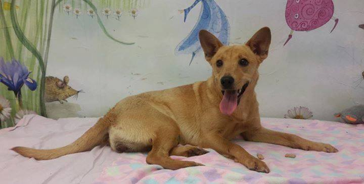 rescue carolina dog