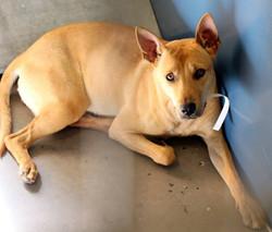 carolina dog rescue