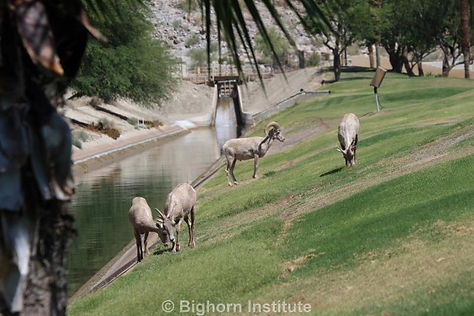 Bighorn browse dangerously close to the canal in which many have drowned.