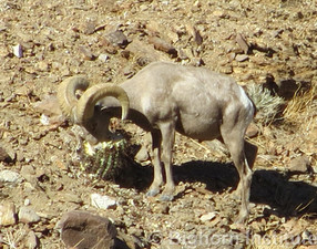 Desert Bighorn Adaptations