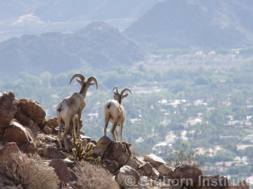 A ram and ewe on the lookout