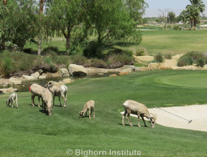 Bighorn on the Greens - Spring 2015