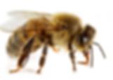 Trattamenti disinfestanti contro le vespe e calabroni -Ekosan Infernetto Roma