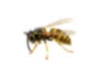 Trattamenti disinfestanti contro le vespe-Ekosan Infernetto Roma