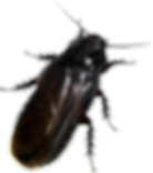 Trattamenti Disinfestanti contro le blatte e scarafaggi- Ekosan Roma Infernetto