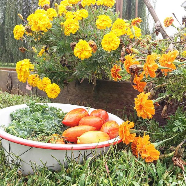 It's now fall and the tomatoes are small, but those marigolds couldn't be happier
