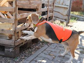 Käferspürhund Mira im Einsatz in Ladenburg