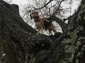 Suchhunde erschnüffeln asiatischen Baumschädling (Taunus Zeitung)