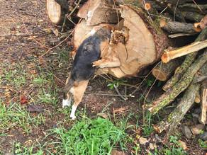 Suchhunde erschnüffeln asiatischen Baumschädling
